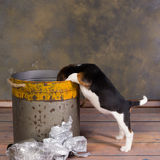 Perro que mira en cubo de la basura Imagen de archivo