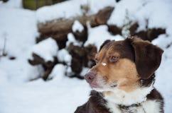 Perro que mira en nieve Imagen de archivo libre de regalías