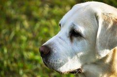 Perro que mira hacia fuera al horizonte Imágenes de archivo libres de regalías