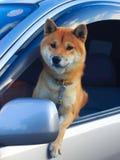 Perro que mira hacia fuera de ventana lateral del coche imagen de archivo