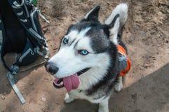 Perro que mira la cámara Cierre para arriba Retrato fornido del perro astuto, visión superior Jefe del husky siberiano lindo, ret Imagen de archivo libre de regalías