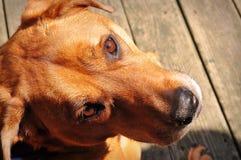 Perro que mira para arriba Foto de archivo