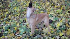 Perro que mira para arriba otoño almacen de metraje de vídeo