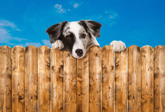 Perro que mira sobre la cerca del jardín Imagen de archivo libre de regalías