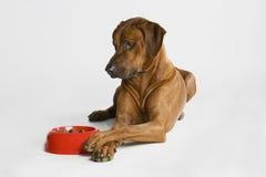 Perro que mira su alimento Imagen de archivo libre de regalías