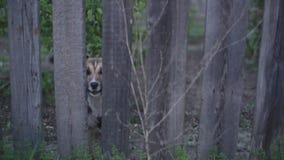 Perro que mira a través de la cerca y de cortezas de madera almacen de metraje de vídeo