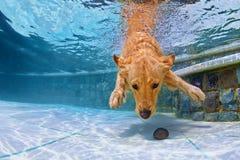 Perro que nada bajo el agua en la piscina Fotos de archivo libres de regalías