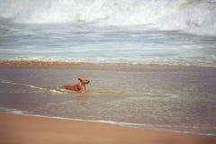 Perro que oculta del calor en el océano Foto de archivo libre de regalías