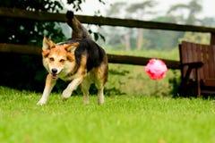 Perro que persigue despidiendo la bola rosada en jardín Imagenes de archivo
