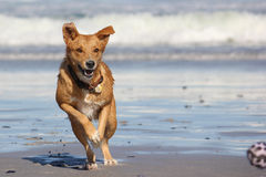 Perro que persigue la bola en la playa Fotos de archivo