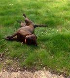 Perro que pone en la hierba Fotografía de archivo libre de regalías