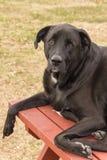 Perro que pone en un banco de la mesa de picnic Imagen de archivo