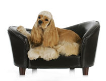 Perro que pone en un sofá Fotos de archivo libres de regalías