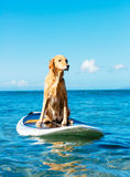 Perro que practica surf Imagenes de archivo