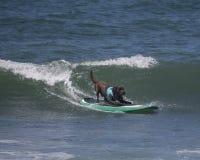 Perro que practica surf Fotografía de archivo