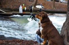 Perro que practica surf del río fotos de archivo