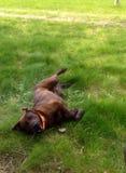 Perro que rueda alrededor en la hierba imágenes de archivo libres de regalías