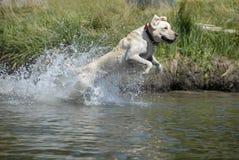 Perro que salta adentro al agua. Fotos de archivo