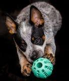 Perro que se aferra a una bola azul Imagen de archivo libre de regalías