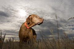Perro que se coloca en hierba con el fondo nublado Imagen de archivo