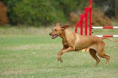 Perro que se ejecuta en agilidad Imagen de archivo libre de regalías