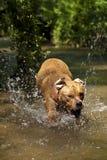 Perro que se ejecuta en agua Imágenes de archivo libres de regalías