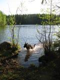 Perro que se ejecuta en agua Fotografía de archivo