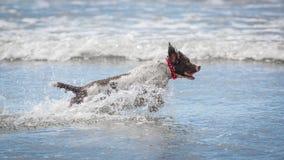Perro que se ejecuta en agua Imagen de archivo