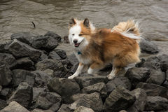 Perro que se ejecuta en el agua Fotografía de archivo
