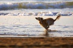 Perro que se ejecuta en la playa Fotografía de archivo