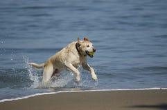 Perro que se ejecuta fuera de San Francisco Bay 1 Fotografía de archivo libre de regalías
