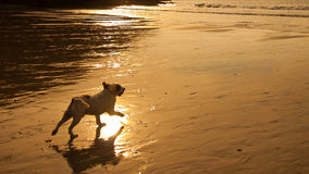 Perro que se ejecuta hacia el mar Fotos de archivo libres de regalías