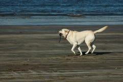 Perro que se ejecuta a lo largo de la orilla imagen de archivo libre de regalías
