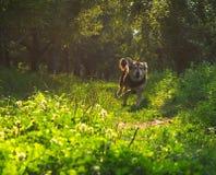 Perro que se ejecuta a través de bosque Imagen de archivo libre de regalías