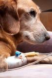 Perro que se recupera con terapia del intravenoso de la cánula Fotografía de archivo