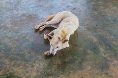 Perro que se relaja en el piso del cemento Foto de archivo libre de regalías