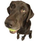 Perro que se sienta con la pelota de tenis Foto de archivo