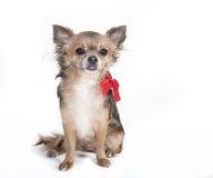Perro que se sienta de la chihuahua con la cinta roja Fotos de archivo libres de regalías