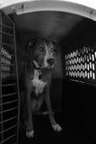 Perro que se sienta en cajón en blanco y negro Imagenes de archivo