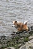 Perro que se sienta en un río Foto de archivo