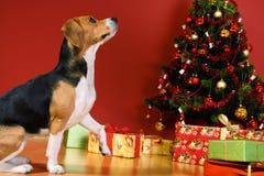 Perro que se sienta por el árbol de navidad Imagenes de archivo