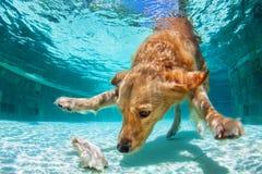 Perro que se zambulle bajo el agua en piscina imagenes de archivo