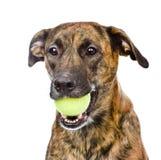 Perro que sostiene la pelota de tenis Aislado en el fondo blanco Fotografía de archivo libre de regalías