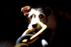 Perro que tira de un objeto Foto de archivo libre de regalías