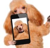 Perro que toma un selfie con un smartphone Imágenes de archivo libres de regalías