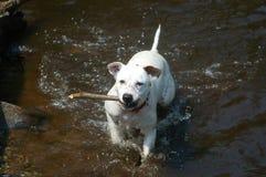 Perro que trae el palillo en agua Fotos de archivo libres de regalías