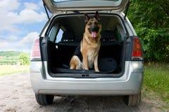 Perro que viaja Imagen de archivo