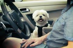 Perro que viaja en un coche Imagen de archivo libre de regalías