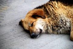 Perro REis el dormir. Imagenes de archivo