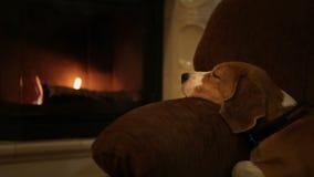 Perro relajante del beagle en la butaca cerca de la chimenea linda almacen de metraje de vídeo